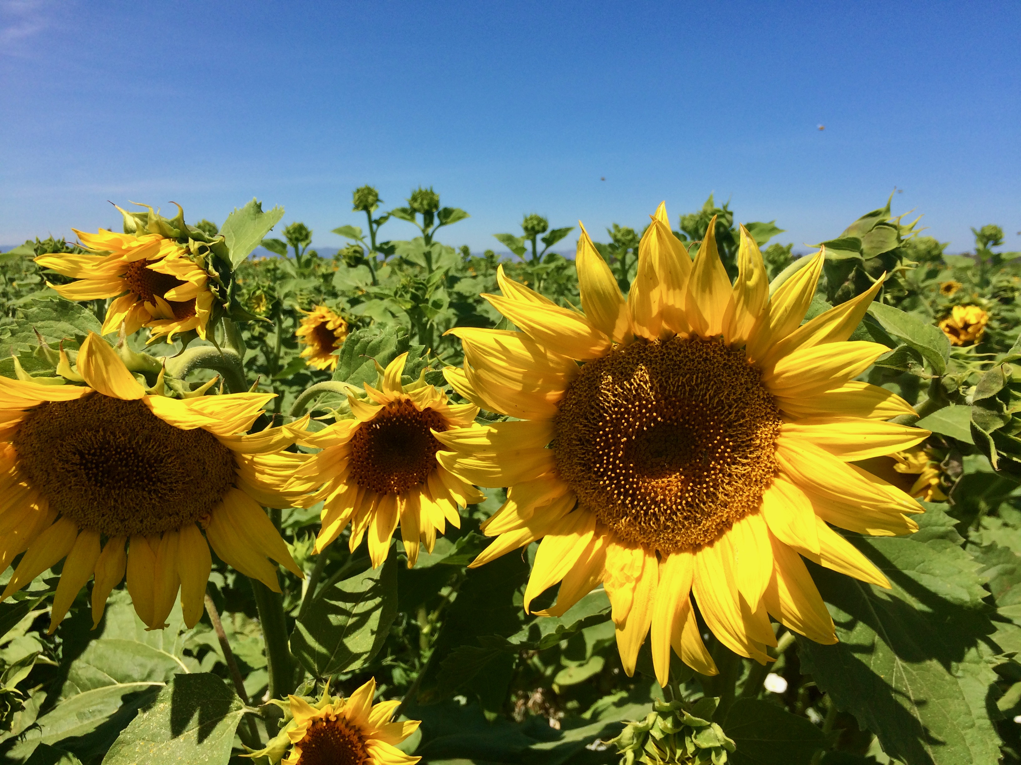 Sunflower - 2.jpeg