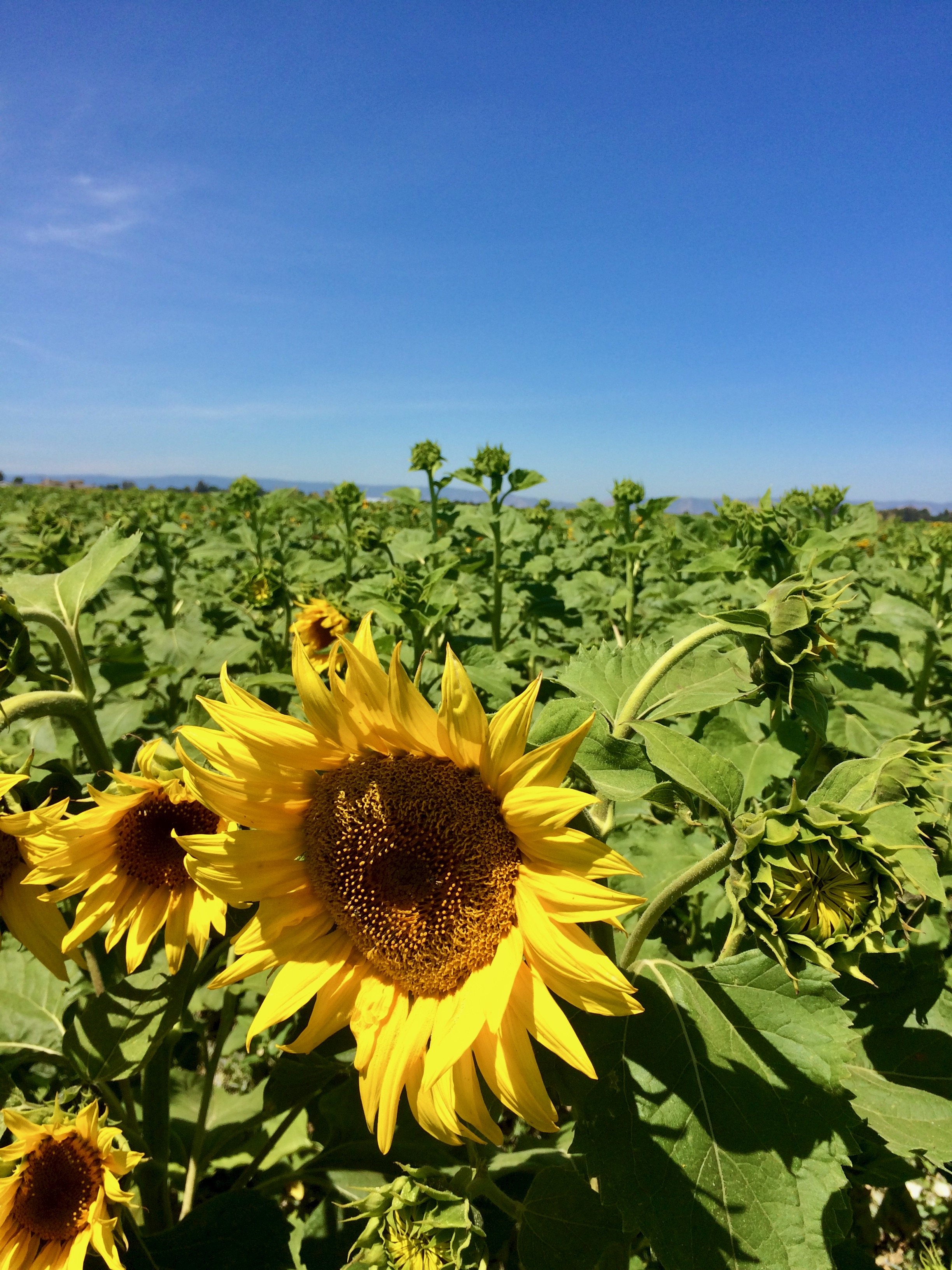 Sunflower - 3.jpeg