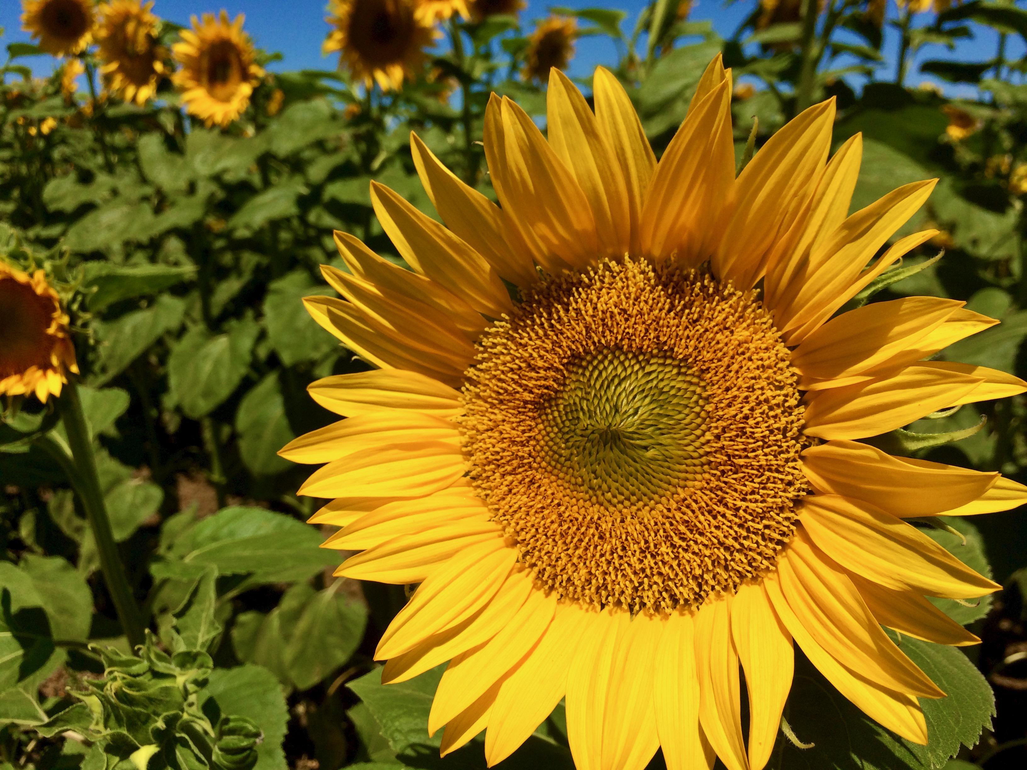 Sunflower - 6.jpeg