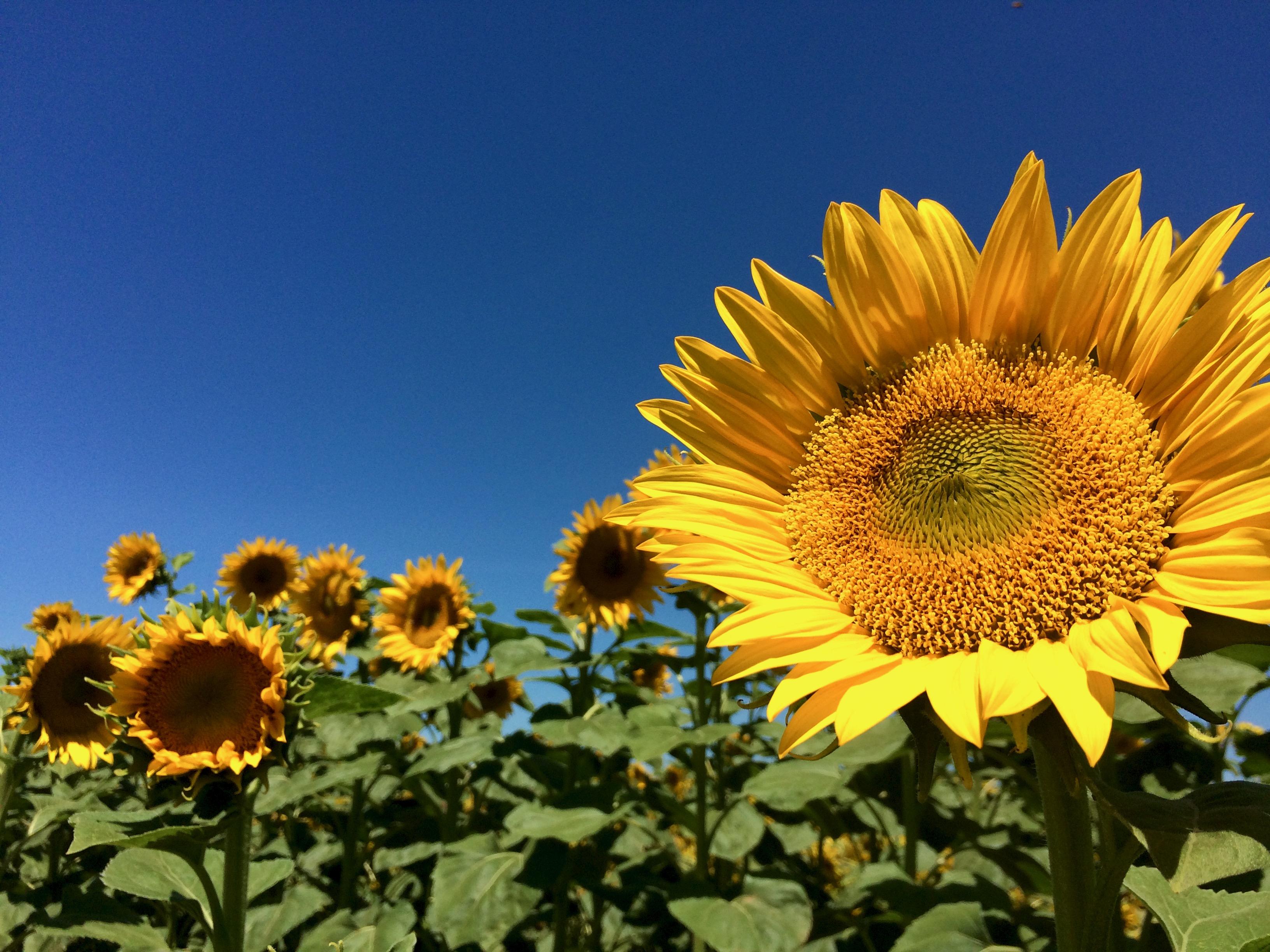 Sunflower - 7.jpeg
